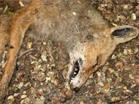 El IREC publica un estudio sobre intoxicaciones de fauna silvestre y doméstica en el Estado