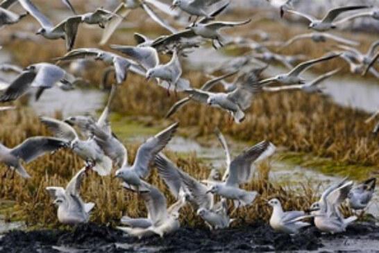 Conteo invernal de aves acuáticas en el Delta del Ebro
