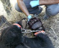 La Fundación Oso Pardo se personará en el caso del oso muerto por un lazo en Asturias