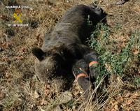 Dos detenidos por la muerte del ejemplar de oso pardo en Asturias