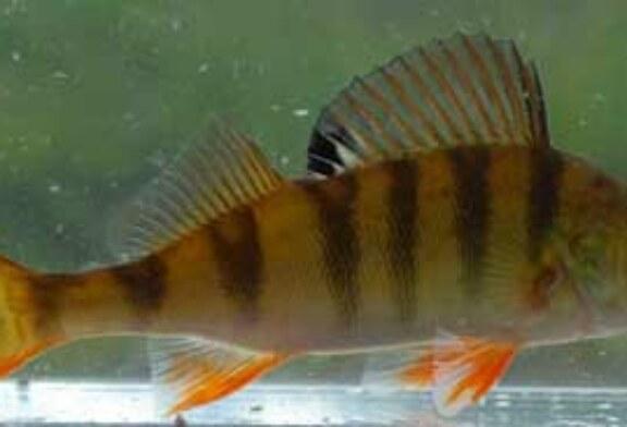 Los ansiolíticos alteran el comportamiento de los peces de río