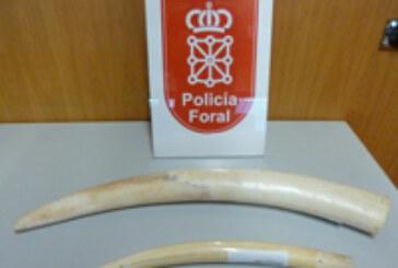 Imputado un vecino de Pamplona que intentó vender dos colmillos de marfil