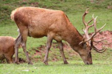 El aumento de ciervos amenaza Reino Unido