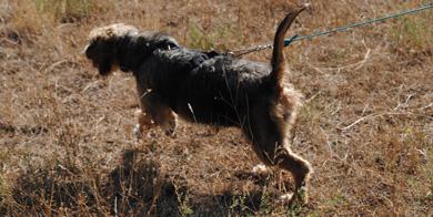 Campeonato de Álava de Perros de Rastro sobre Jabalí en Garrastatxu Baranbio