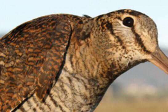 Urdaibai Bird Center celebra el jueves una conferencia sobre la migración de las becadas