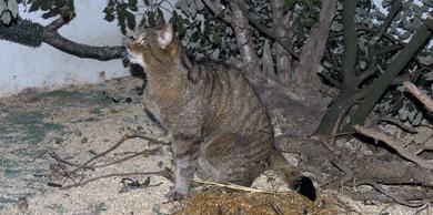 El Centro de Gorliz recupera el gato montés puro rescatado de un cepo en Artzentales