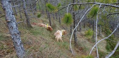 El  CCBP crea un Reglamento de Pruebas de Perros de Muestra sobre Becada