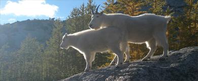 Alaska, tras la pista de la Mountain Goat