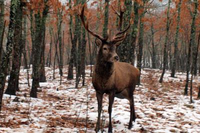 La Diputación de Álava establece un cupo de 128 machos de ciervo para esta temporada