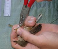 El parketxe de Izki celebra el Día Mundial de las Aves con un taller de anillamiento