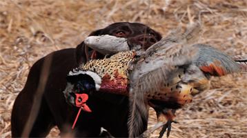 40 jornadas de caza de perdiz y faisán en Bizkaia