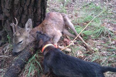 Claves para la recuperación de piezas de caza mayor heridas con perros de sangre