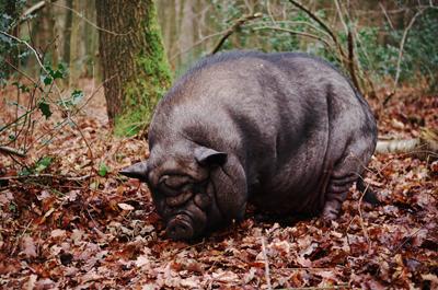IREC: Los cerdos vietnamitas se están estableciendo en libertad en España
