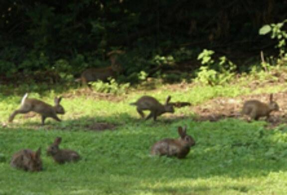 Estado de la investigación sobre el conejo de monte en la península ibérica y perspectivas futuras