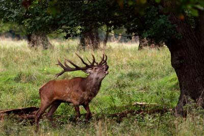 Confirman dos linajes genéticos de Ciervo Ibérico