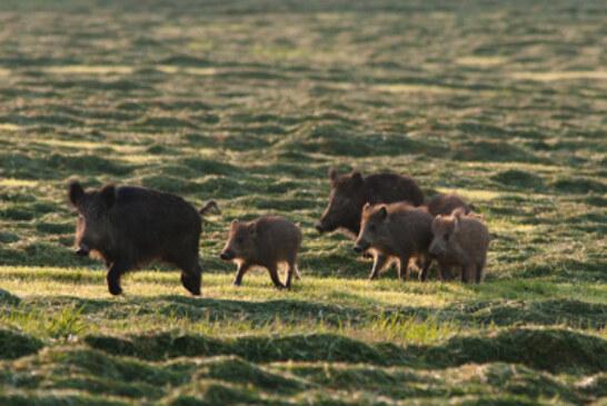 La ampliación de días para cazar jabalís es una exigencia de los baserritarras que, además, serán los perjudicados si el recurso presentado por EGUZKI prospera