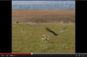 Caza del zorro con Águila Real