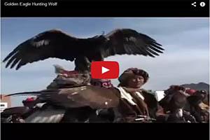 Cazando lobos con águilas
