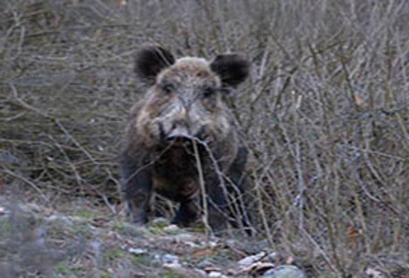 FOTO DEL DÍA: El jabalí curioso