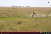 ¡Enorme jabalí ataca a leopardo!