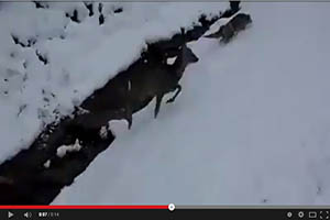 Zorro ataca a un corzo