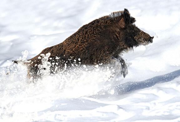 La Federación Navarra de Caza ayudará económicamente a las sociedades para que puedan alimentar a los animales afectados por las nevadas