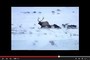 Espectacular caza de lobos