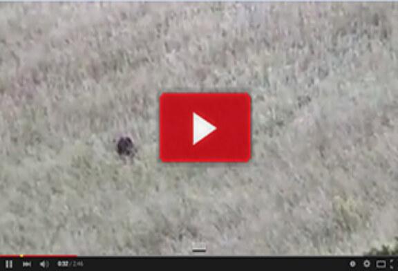 ¡Jabalí ataca a crías de corzo!