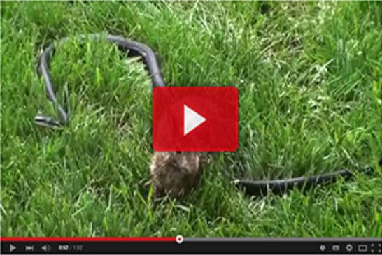 Coneja defiende a sus gazapos