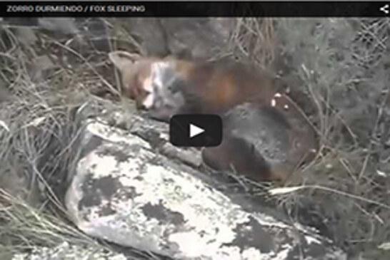 Un zorro dormido que no se despierta ni a tiros