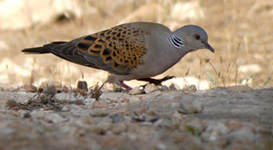 EA critica que la media veda 'ignora' la adversa climatología y la conservación de las aves