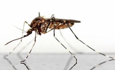 La leishmania y su famoso mosquito Phlebotomo