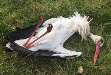 ADECAP muestra su repulsa ante la muerte de una cigüeña en Urdaibai