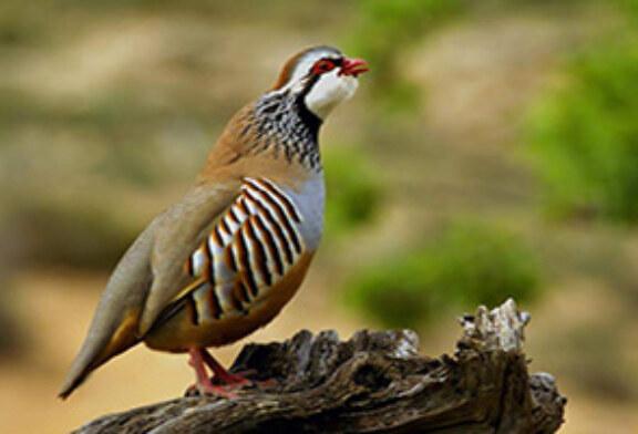 El Proyecto RUFA pretende revertir la precaria situación en la que está la perdiz roja silvestre