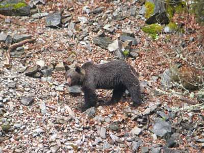 Más de 4.000 cazadores colaboran en los trabajos de recuperación del oso pardo