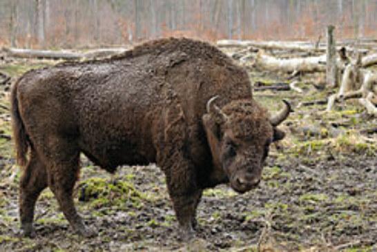 Trabajan por la vuelta del bisonte europeo a los bosques navarros