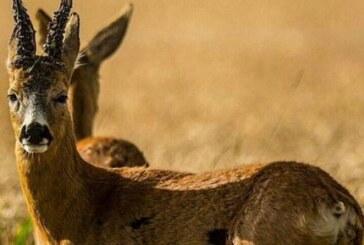 Sobre la agresividad de los machos de corzo
