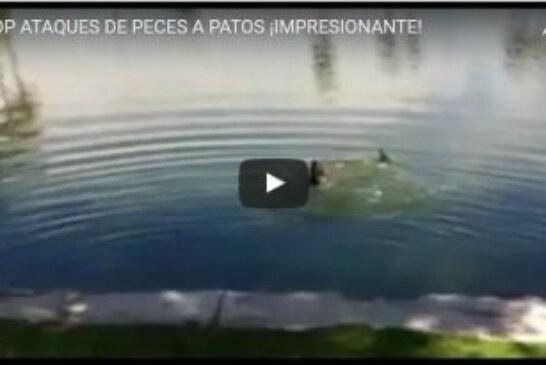 TOP ATAQUES DE PECES A PATOS ¡IMPRESIONANTE!