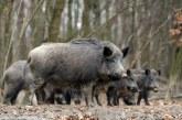 Gipuzkoa: Se dispara la población de jabalí con un recuento de casi 3.000 ejemplares en un año