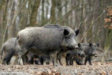 Cazar más jabalís es la única forma de frenar la peste porcina