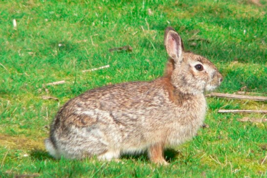 El conejo peligra en Lanzarote