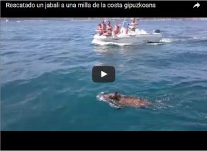 Rescatado un jabali a una milla de la costa gipuzkoana