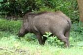 La Xunta pide la ayuda de los cazadores para minimizar los daños del jabalí
