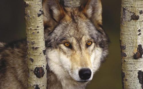 Los ganaderos de Cantabria cobrarán las indemnizaciones por los daños causados por los ataques de lobos