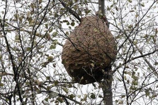 Piden la intervención de los cazadores gallegos para combatir la avispa asiática