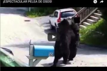 ¡ESPECTACULAR PELEA DE OSOS!