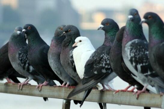 Santoña se afana en controlar la superpoblación de gaviotas y palomas