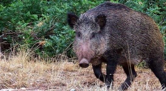 La orden de caza de Cantabria para temporada 2017-2018 incrementa del cupo del jabalí