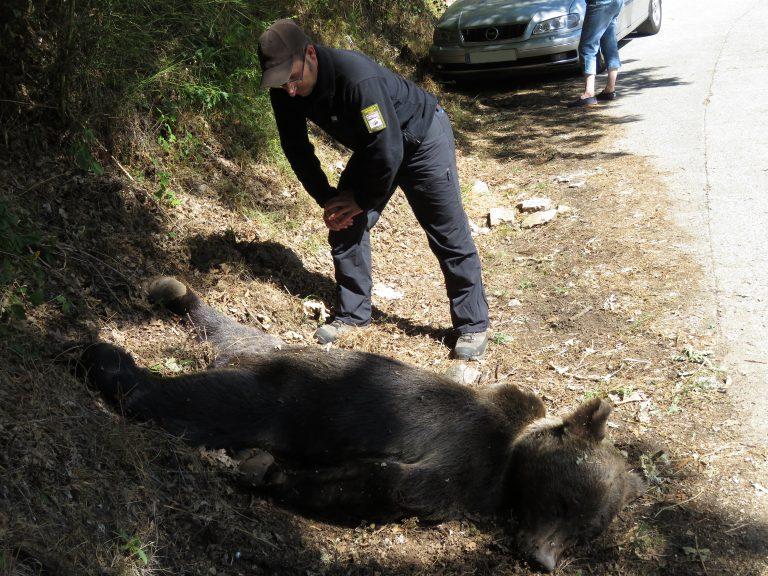 Aparece un oso muerto por un disparo en Asturias