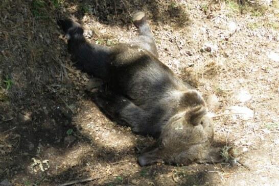 El Gobierno Asturiano desvincula la muerte de un oso con cacerías o acciones de control de jabaliés